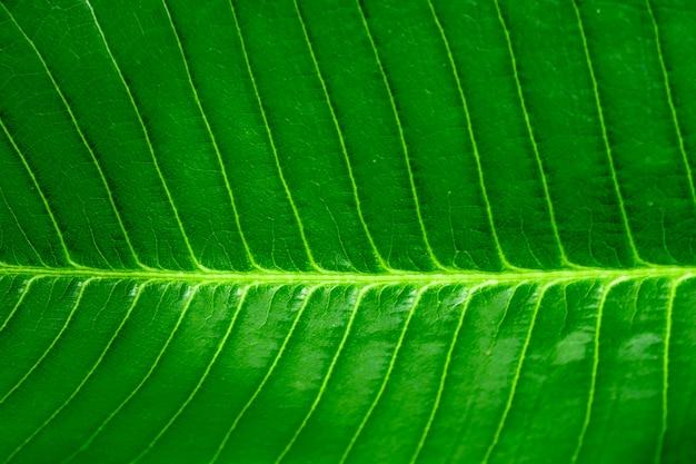 Neue grüne blatthintergrund-großaufnahme, horizontales grünes blatt und stelle fokussiert.