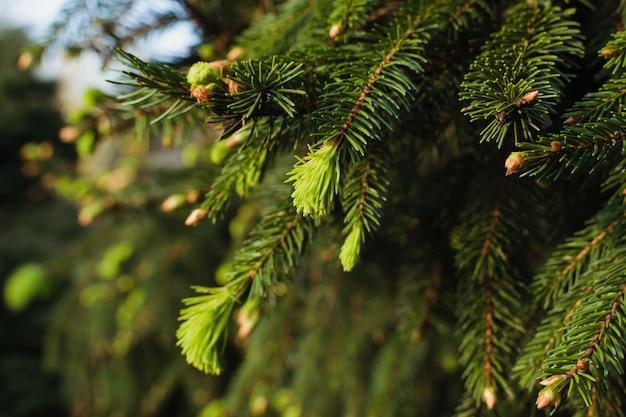 Neue tannenzweige im frühjahr. nadelbaumsprößling im unterschiedlichen hintergrund der grünen farbe.
