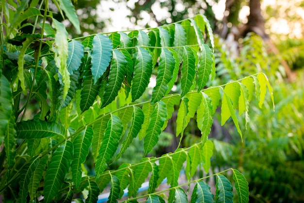 Neues oberes blatt der neempflanze. azadirachta indica - ein zweig von neembaumblättern. natürliche medizin.