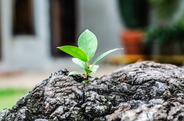 Neues wachstum vom alten konzept. aufbereiteter baumstumpf, der einen neuen sprössling oder sämling wächst.