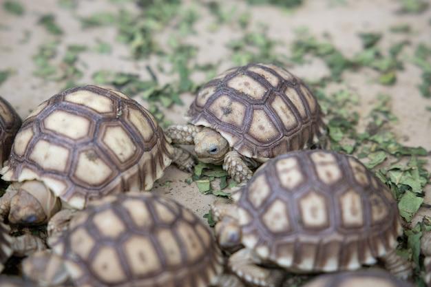 Neugeborene baby-sulcata-schildkröte