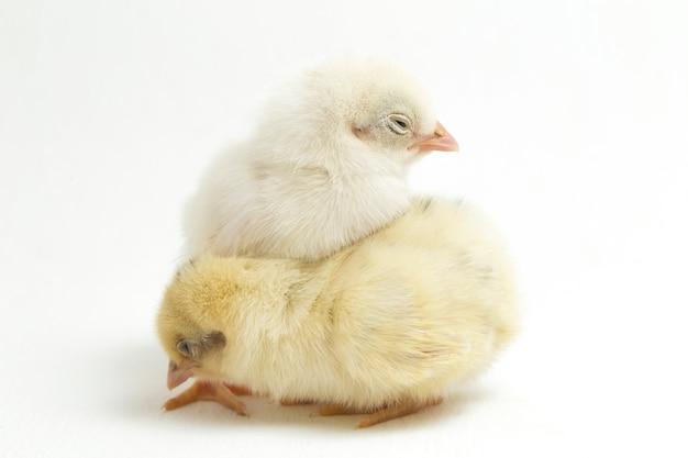 Neugeborene gelbe küken auf weiß