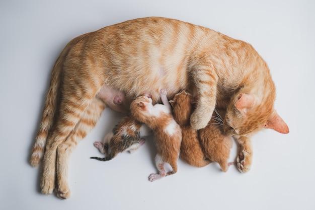 Neugeborene kätzchen trinken die milch ihrer mutter vor weißem hintergrund