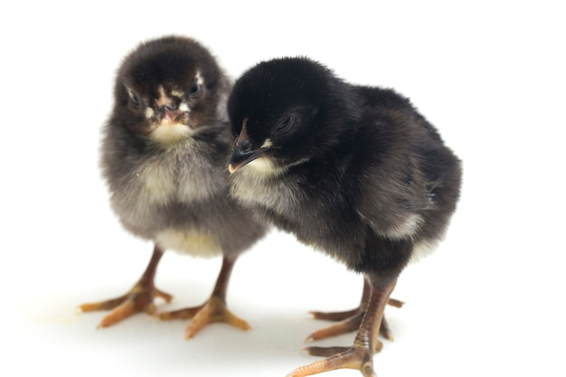 Neugeborene schwarze küken auf weiß