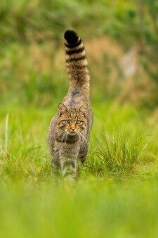 Neugierige europäische wildkatze, die vorwärts geht und schwanz auf einer grünen sommerwiese hochhält
