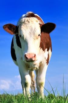 Neugierige kuh in der landschaft