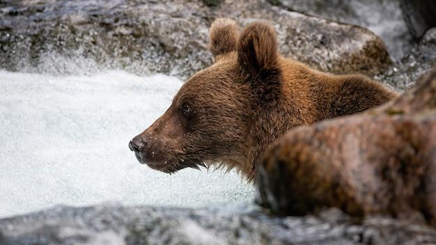 Neugierige ursus arctos mit blick nach vorne in das von felsen umgebene wasser.
