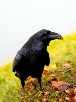 Neugieriger großer schwarzer rabe, der in einer herbstwiese, vertikales porträt eines schwarzen raben aufwirft.
