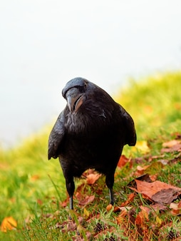 Neugieriger großer schwarzer rabe schaut direkt in die kamera und posiert auf einer herbstwiese, vertikales porträt eines schwarzen raben.