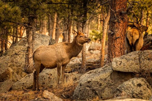 Neugieriger hirsch im reisig im rocky montain national park