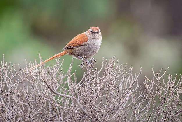 Neugieriger kleiner vogel thront auf den zweigen einer getrockneten paramopflanze