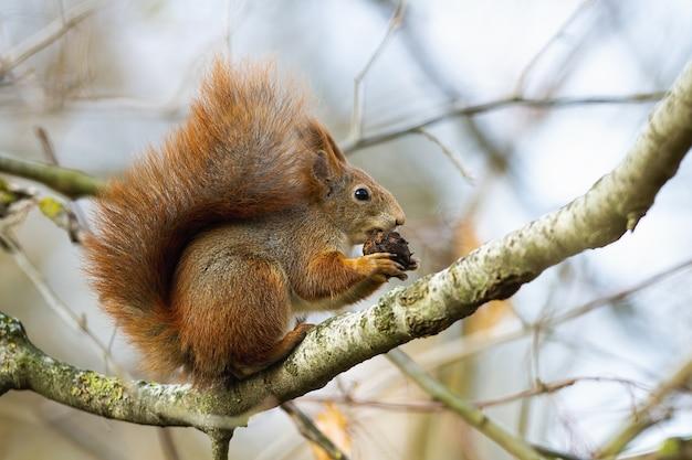 Neugieriger roter eichhörnchenbeißkegel auf zweig in der herbstnatur