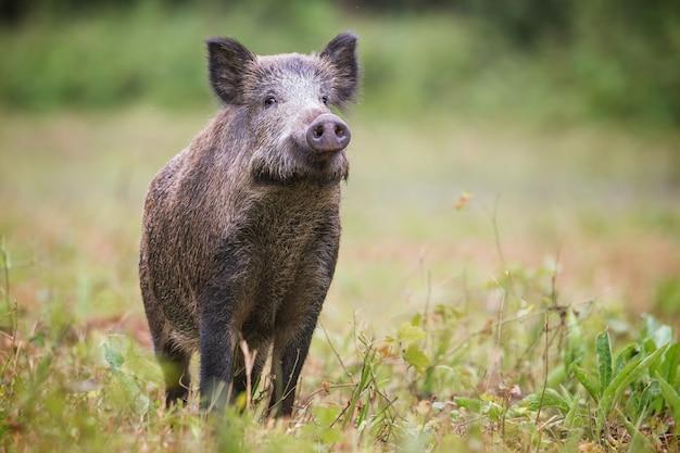 Neugieriger wildschwein, sus scrofa, der bei tageslicht auf dem heufeld nach gefahr schnüffelt.