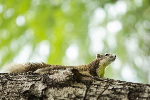 Neugieriges braunes eichhörnchen, das hinter den baumstamm späht