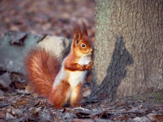 Neugieriges europäisches eichhörnchen.