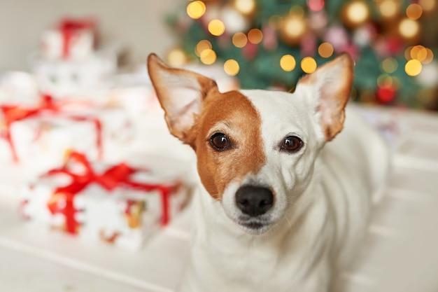 Neujahr hund jack russell terrier sitzt in der nähe des weihnachtsbaumes
