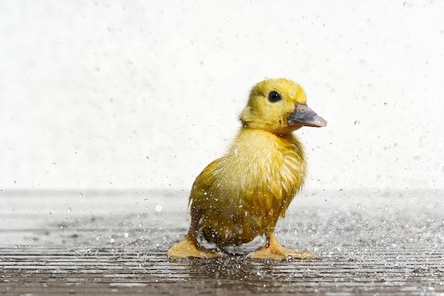 Newborn kleines süßes nasses entlein unter regentropfen. regenwather-konzept.