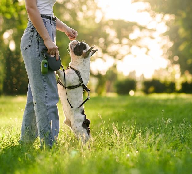 Nicht erkennbare frau, die französische bulldogge im park füttert