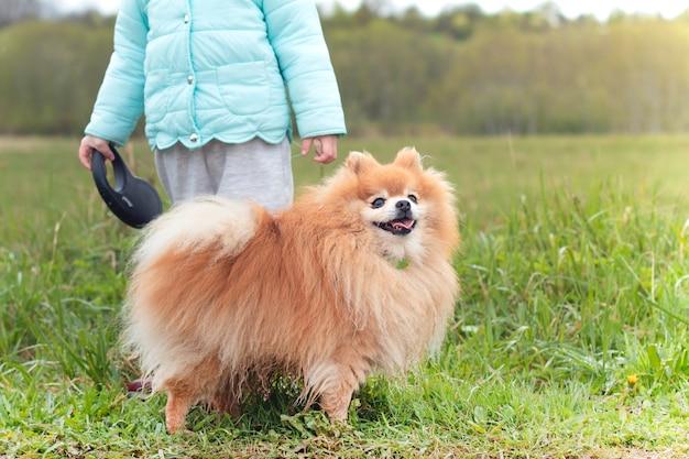 Nicht erkennbare person, kleines kind, kind, das mit einem glücklichen lächelnden hund, niedlicher pommerscher spitzwelpe auf einer leine auf grünem gras geht. menschen-, kinder- und tierkonzept