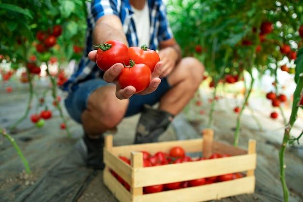 Nicht erkennbarer bauer, der tomaten in seiner hand hält, während er in der bio-lebensmittelfarm steht