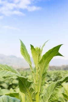 Nicotiana tabacum krautige pflanze