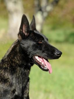 Niederländischer schäferhund