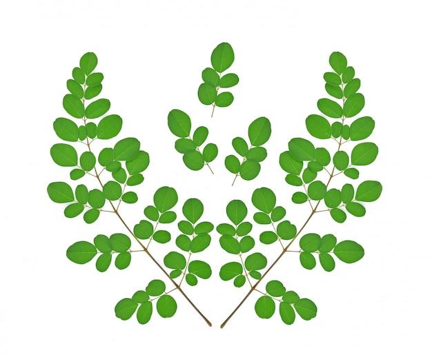 Niederlassung der grünen moringa verlässt, die tropischen kräuter, die auf weißem hintergrund lokalisiert werden