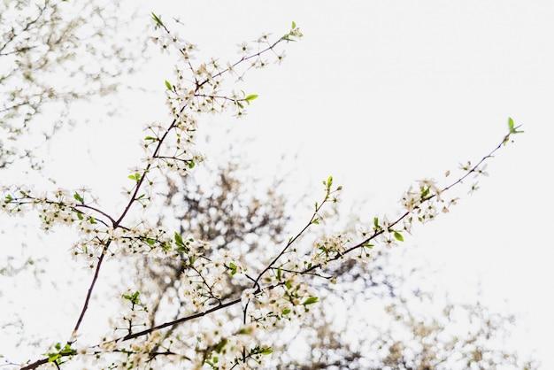 Niederlassungen des baums in der blüte im frühjahr mit bewölktem himmel