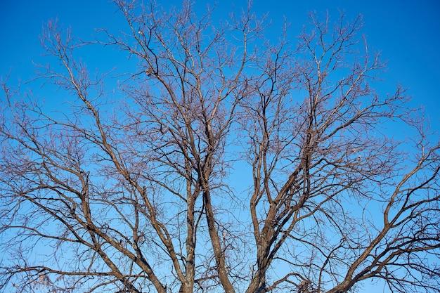 Niederlassungen eines baums ohne blätter im vorfrühling gegen einen hellen blauen himmel und die bachstelze auf niederlassung