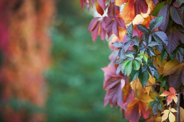 Niederlassungen von ersttrauben im herbst frische traubenblätter auf einem schönen verwischt. tiefenschärfe, exemplar