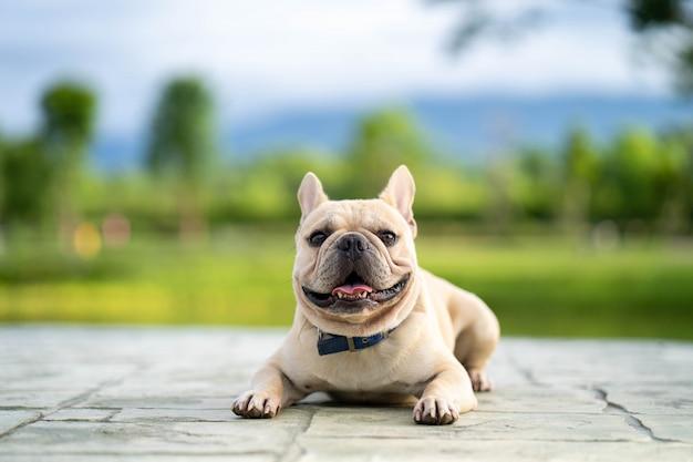Niedlich aussehende französische bulldogge