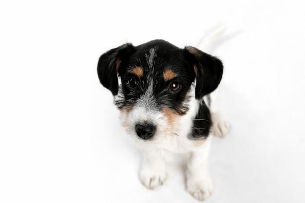 Niedlich. jack russell terrier kleiner hund posiert. nettes verspieltes hündchen oder haustier, das auf weißem studiohintergrund spielt. konzept der bewegung, aktion, bewegung, haustierliebe. sieht glücklich, erfreut, lustig aus.