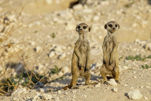 Niedliche erdmännchen von suricat in einem wüstengebiet tagsüber