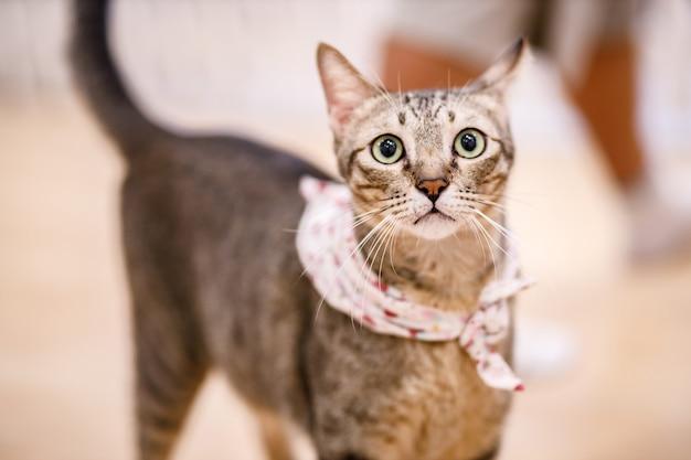 Niedliche getigerte katze mit gelben augen und langen schnurrhaaren. nahaufnahmeporträt einer schönen katze. entspannte hauskatze zu hause.