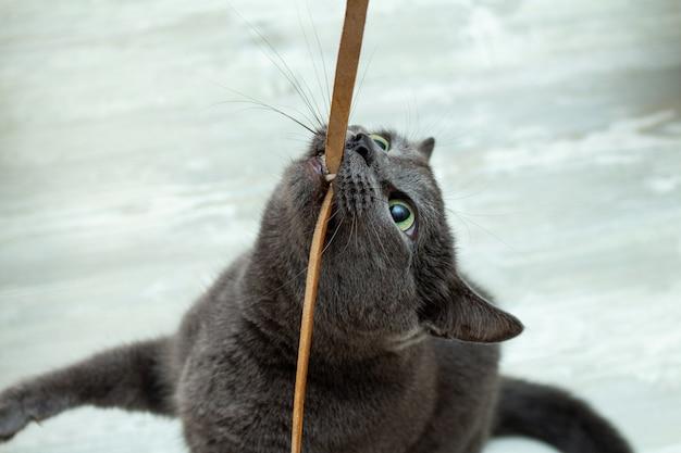 Niedliche graue katze, die das spielen des lederschnurdrahts sehr ausdrucksvolles verärgertes spielerisches beißt