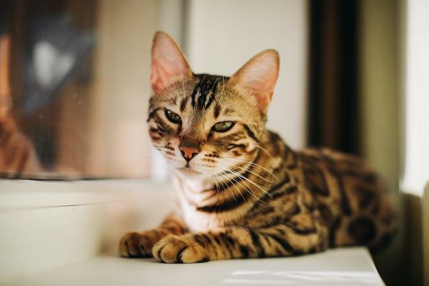 Niedliche holzkohle bengal kitty katze, die auf dem fensterbett der katze mit holundergoldkatze liegt, die auf dem raum beobachtet. sonniger sitz für katze am fenster.