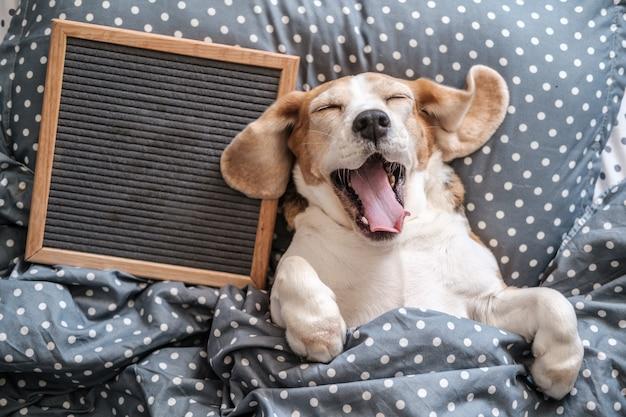 Niedliche hunderasse beagle lustig schlafen auf dem kissen und gähnen. daneben steht eine leere filzschreibtafel.