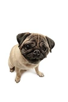 Niedliche hunderasse mops sitzen und lächeln mit glück, das so lustig ist und ein ernstes gesicht macht. reinrassiger und intelligenter hund isoliert auf weißem hintergrund. das freundliche konzept