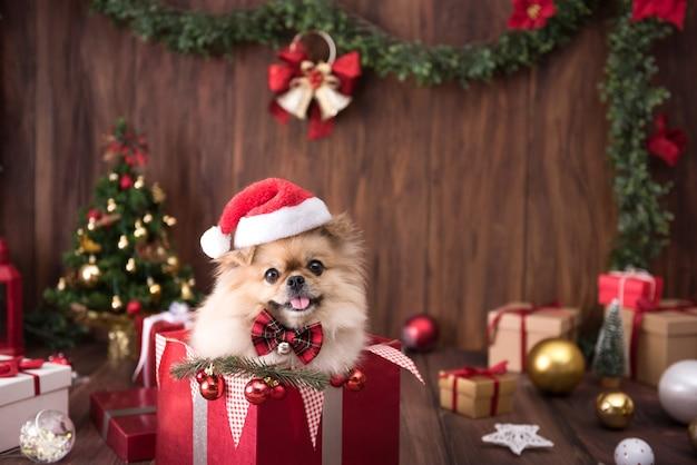 Niedliche hundewelpen pommersche tragende weihnachtsmannmütze in geschenkbox auf frohe weihnachten dekoration für feier.