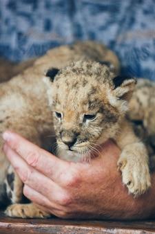 Niedliche kleine baby-löwenbabys im streichelzoo. schöne pelzige kleine löwenbabys in den händen des freiwilligen. rette die tierwelt.