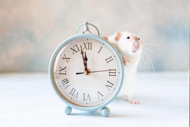 Niedliche kleine weiße ratte, maus sitzt in den vintagen uhren. zwei minuten vor neujahr der ratte. chinesisches neujahrssymbol