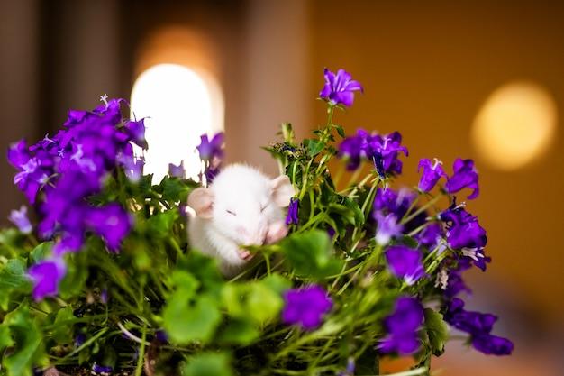 Niedliche kleine weiße ratte mit den großen ohren, die im busch der lila blumen auf dem warmen gelb stationieren