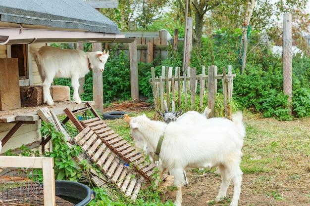 Niedliche kükenziege, die im sommertag in ranchfarm entspannt. hausziegen, die auf der weide weiden und kauen, landmauer. ziege in natürlichen öko-farm wächst, um milch und käse zu geben.