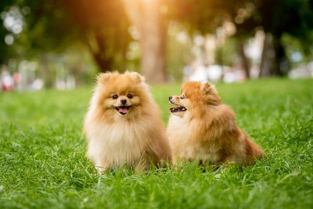 Niedliche pommersche hunde im park