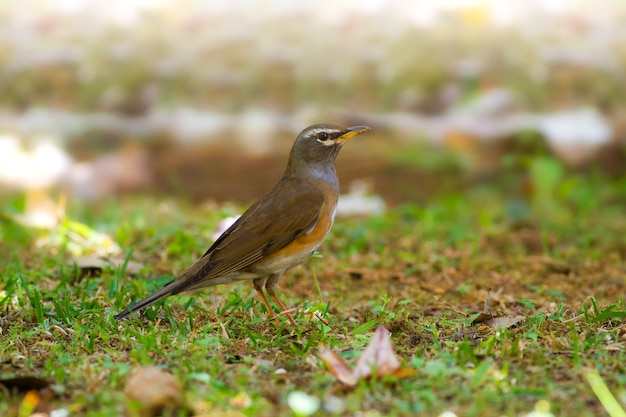 Niedliche vögel in der natur, grauseitige drossel: turdus feae