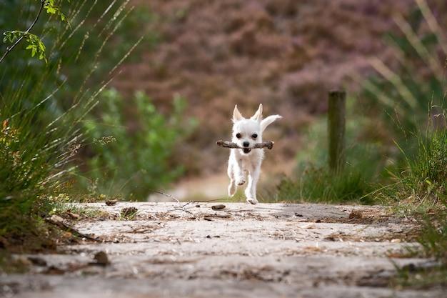 Niedliche weiße chihuahua, die auf der straße mit einem stock im mund laufen