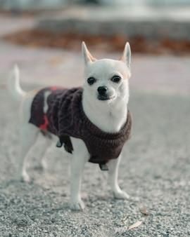 Niedliche weiße chihuahua mit einem pullover