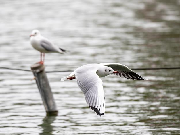 Niedliche weiße europäische silbermöwe, die frei über den see fliegt