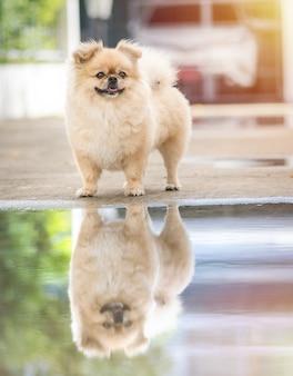 Niedliche welpen pommerscher mischling pekingese hund, der auf dem boden steht, der wasser und reflexion hat
