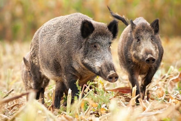 Niedliche wildschweinfamilie, die auf dem gemähten maisfeld weidet
